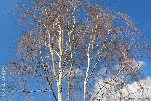 Birch tree - 256682074