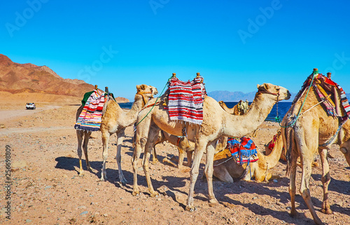 Get experience of camel safari in Sinai, Egypt