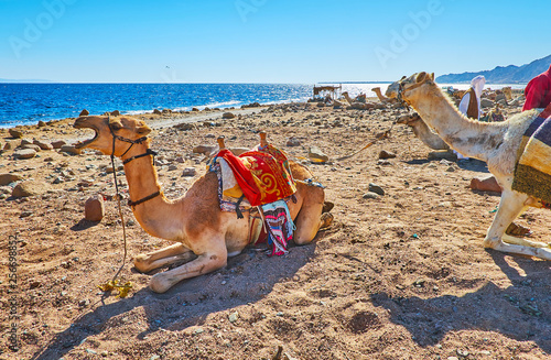 Camels on Dahab beach, Sinai, Egypt