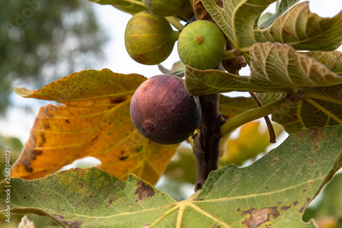 Ripening figs on a branch in the garden. Cyprus