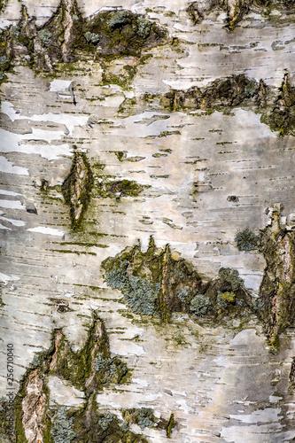 Texture of birch bark in spring. - 256710040