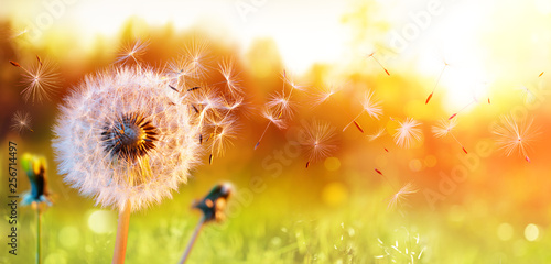 Dandelion In Field At Sunset - Freedom to Wish - 256714497