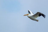 American White Pelican in flight 4964