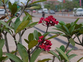 inflorescence of beautiful flowers with pink petals, pink buds, green foliage