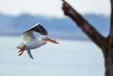 American White Pelican in flight 5007