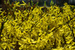 background with beautiful  forsythia flowers in the warm spring sun
