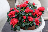 Large red azalea or Rhododendron plant with flowers in a pot in a garden outside