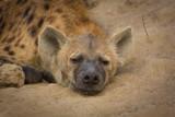 hyena sleeping in africa