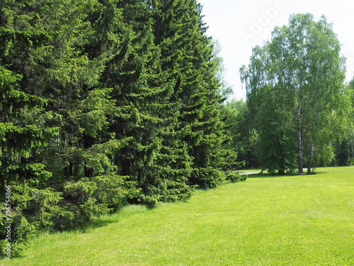 Park with dense vegetation of spruce and birch. mowed lawn. copy space... - 256754866