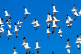Pied avocet.Recurvirostra avosetta.Natural Park S'Albufera de Mallorca.Muro, Mallorca, Baleares, Spain