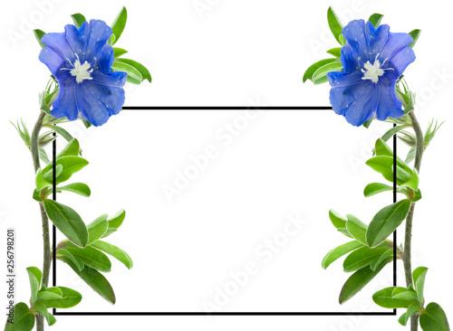 canvas print picture Cadre Blue Day, bleuet, evolvulus glomeratus, fond blanc