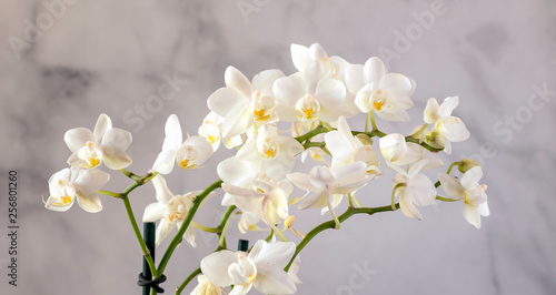 arching white orchid blossoms - 256801260
