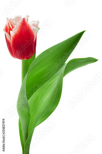 Red tulip flower on white © Leonid Nyshko
