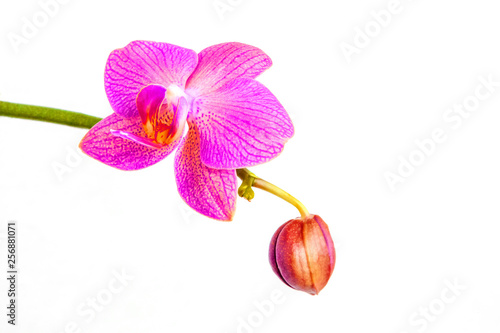 Orchid flowers head bouquet blossom isolated on white background. Branch of beautiful purple Phalaenopsis. - 256881071