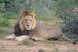 A lion rests on the ground near Port Elizabeth in South Africa