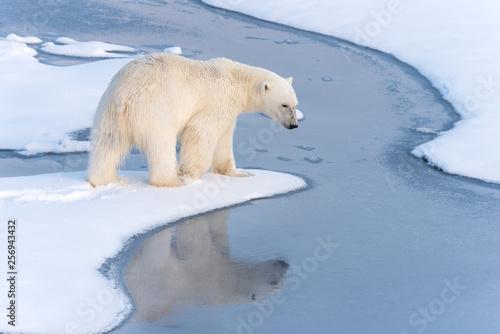 fototapeta na ścianę Polar Bear with reflection in thin ice at the ice edge