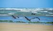 Oiseaux sur la plage de Plestin-les-Grèves.