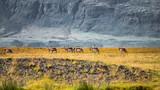 Wild herd of reindeers migrating on South Iceland