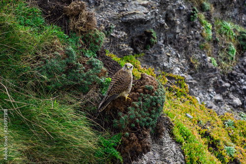 Hawk Perched on Cliff Face - Porthleven Cornwall - UK © Theo