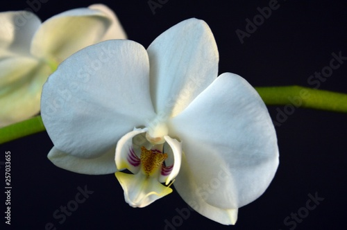 beautiful blooming orchid on a black background - 257033655