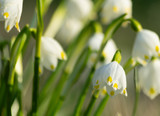 snowdrops in spring on a meadow