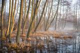 Fototapeta Forest - wczesna wiosna na bagnach,  © Piotr Szpakowski