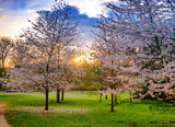 Chery blossoms tree Sakura illuminated by sunset in springtime in Regents park of London in England