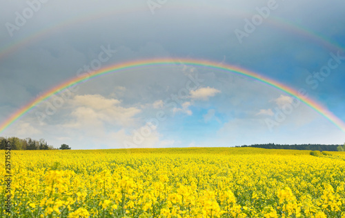 Bright rainbow in the sky with clouds above the yellow rapeseed field © E.O.