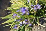 Iris botanique bleu