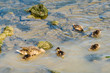 canvas print picture - Female Mallard with Chicks in River Weibliche Stockente mit Küken in Fluss