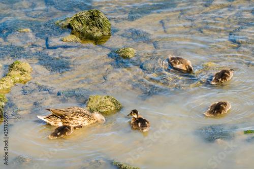 canvas print picture Female Mallard with Chicks in River Weibliche Stockente mit Küken in Fluss