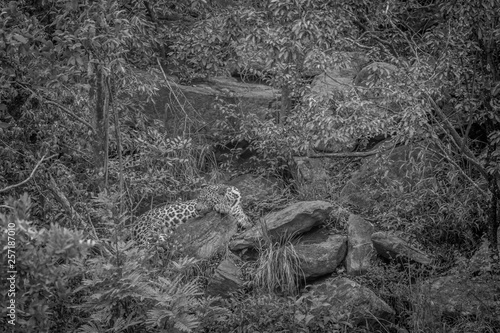 Leopard laying on a rock in Welgevonden.