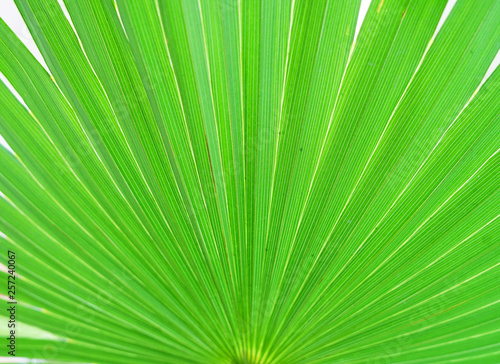 close up on green palm tree leaf texture