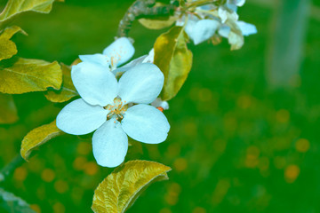 Blossoming branch apple.