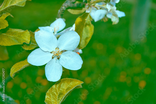 Blossoming branch apple. - 257292477