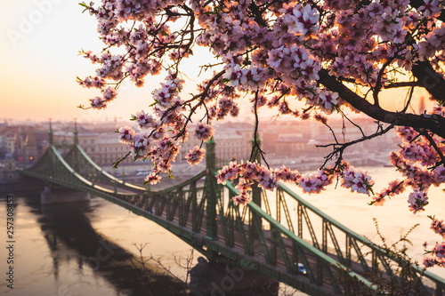 Beautiful Liberty Bridge at sunrise with cherry blossom in Budapest, Hungary. Spring has arrived to Budapest.