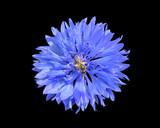Cornflower 6