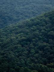 Dense green tree plantation on the hill side. © AlexandraDaryl
