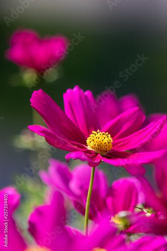 Pink Garden Cosmos, Cosmos bipinnatus - 257334405