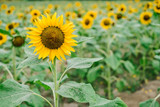 Field of sunflowers in full bloom. Selective focus. Copy space. Full frame.