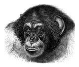 Chimpanzee (Troglodytes Niger) - Vintage illustration from Meyers Konversations-Lexikon 1897