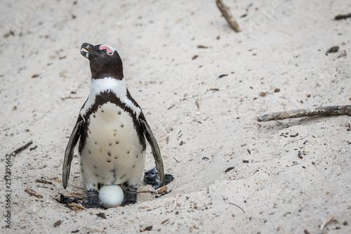 Fototapeten Pinguine African penguin sitting on an egg.