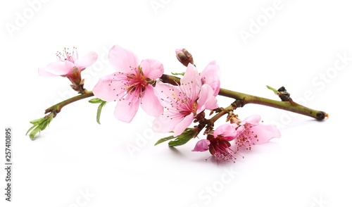 Blooming peach flowers on twig isolated on white background - 257410895