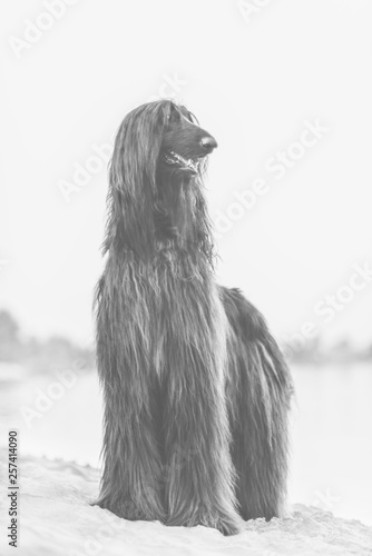 Black and white front portrait of Afghan Hound standing on sand in desert © olgagorovenko