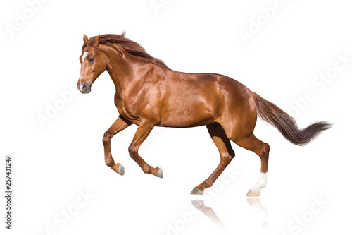 Red stallion isolated on white background © kwadrat70