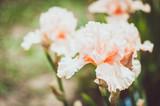Iris coloré dans le jardin
