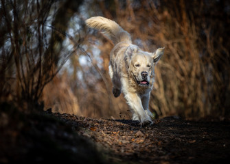The Golden Retriever © SAJ