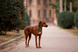 Dog breed Ridgeback