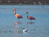 Freilebende Flamingos in Deutschland - Zwillbrocker Venn