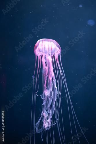 Leinwandbild Motiv glowing jellyfish chrysaora pacifica underwater